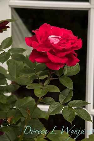 Rosa 04-00578 0r 06-02042_4731