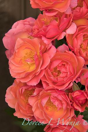 Rosa 05-03575_4722