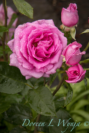 Rosa 06-01781 one_7016