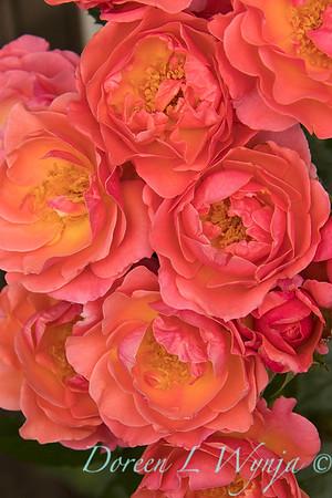 Rosa 05-03575_4709