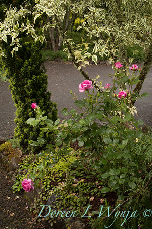 Rosa 06-01781 two_7024