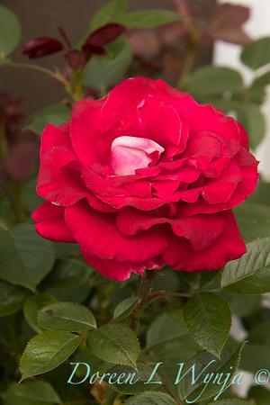 Rosa 04-00578 0r 06-02042_4726