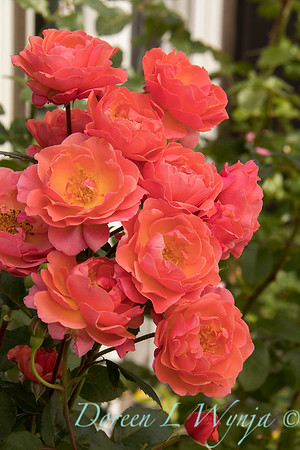 Rosa 05-03575_4712