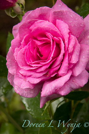 Rosa 06-01781 two_7045