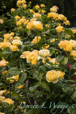 Rosa 'Walking on Sunshine' yellow rose_3051