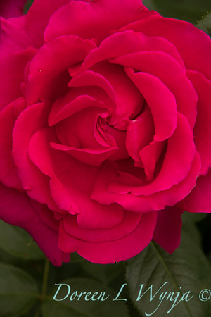 Rosa hybrid tea 'Voluptuous' red rose_3095