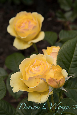 Rosa 'Walking on Sunshine' yellow rose_3065