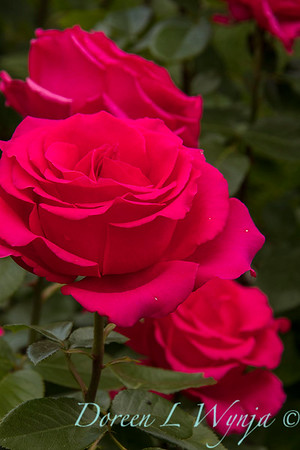 Rosa hybrid tea 'Voluptuous' red rose_3102