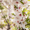 Prunus Dulcis - in full bloom_7069
