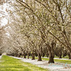 Prunus Dulcis - in full bloom_7012_20x30