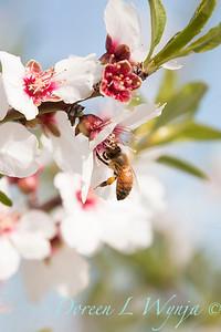Prunus Dulcis - in full bloom_7085