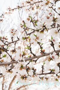 Prunus Dulcis - in full bloom_7110