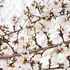 Prunus Dulcis - in full bloom_7110