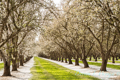 Prunus Dulcis - in full bloom_7015_20x30