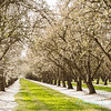 Prunus Dulcis - in full bloom_7015_20x30