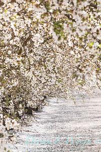 Prunus Dulcis - in full bloom_7099