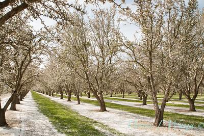 Prunus Dulcis - in full bloom_7002