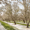 Prunus Dulcis - in full bloom_7002