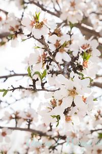 Prunus Dulcis - in full bloom_7107