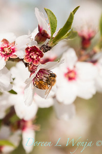 Prunus Dulcis - in full bloom_7088