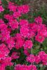 Verbena 'Hot Pink'_6037
