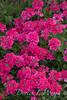 Verbena 'Hot Pink'_6038