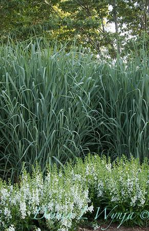 Angelonia angustifolia 'Angelface White' - Panicum virgatum 'Dallas Blues'_6042