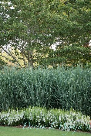 Angelonia angustifolia 'Angelface White' - Panicum virgatum 'Dallas Blues'_6040