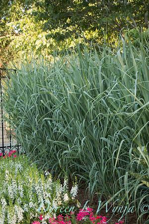 Angelonia angustifolia 'Angelface White' - Panicum virgatum 'Dallas Blues'_6041