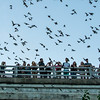 Tourists observing the emergence of 1.5 million Brazilian free-tailed bats from crevices beneath the Congress Avenue Bridge in Austin, Texas. Emergences