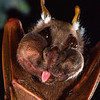 An adult male Wahlberg's epauletted fruit bat (Epomophorus wahlbergi) with his cheek pouches full of figs in Kenya. These bats can carry tens of thousands of seeds to new locations in a single night. However, the primary purpose of pouches in males of this species appears to be more related to call enhancement during courtship.