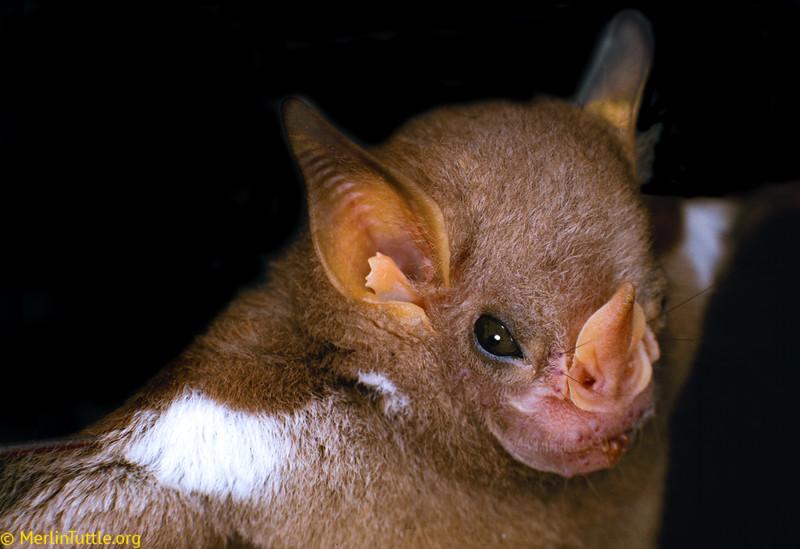 little white-shouldered bat, Ametrida centurio
