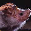 Lesser mouse-tailed bat (Rhinopoma hardwickii)