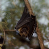 An Insular flying fox (Pteropus tonganus) roosting on the Island of Tonga. These bats are key dispersers of large seeds. Roosting