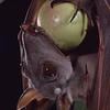 A hammer-headed bat (Hypsignathus monstrosus) eating a rose apple (Eugenia jambos) in Ivory Coast. Seed Dispersal