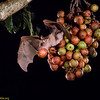 Minor epauletted fruit bat (Epomophorus labiatus minor) taking a ripe fig. Fruit-eating bats play key roles in carrying seeds essential to forest regrowth in cleared areas. Seed Dispersal