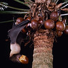An endangered Mariana flying fox (Pteropus mariannus) taking a cycad fruit on the island of Guam. Flying foxes are key seed dispersers for large Pacific Island fruits. Seed Dispersal