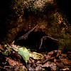 Seba's short-tailed bats (Carollia perspicillata) entering and exiting a Panamanian tree hollow where they roost. These bats are extraordinarily important dispersers of seeds into clearings in need of reforestation. Emergences