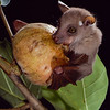 Peter's dwarf epauletted fruit bat (Micropteropus pusillus) eating fig (Ficus vallis-choudae) in Ivory Coast. These bats are essential seed dispersers. Seed Dispersal