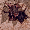 """Common vampire bats (Desmodus rotundus) are found only in Latin America. They appear to have been rare prior to the arrival of modern humans who brought livestock that these bats now feed on. Though they have become a problem for ranchers, vampire saliva has been termed a """"treasure trove"""" of molecules that one day may be used to save human lives. They are highly social animals that adopt orphans and share meals with those less fortunate. Vampire Bats, Roosting"""