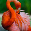 Pink Flamino