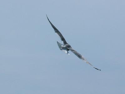 057 Seagull