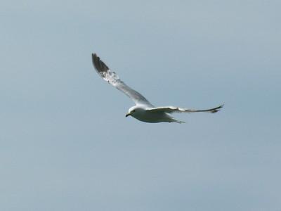 011 Seagull
