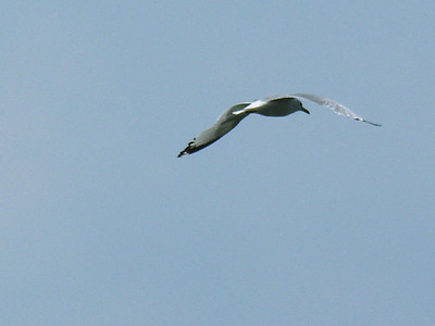 010 Seagull