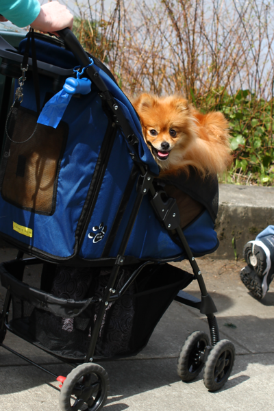 this lady had 2 cute poms in a dog stroller