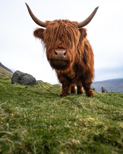 Faroe Islands Coos