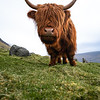 Faroe Islands Coos