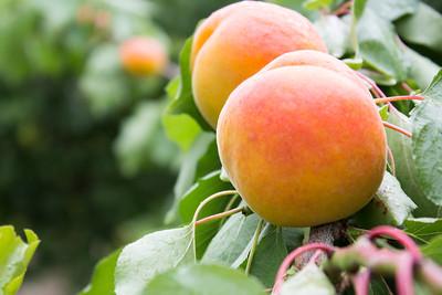 Diamond Cot Apricot