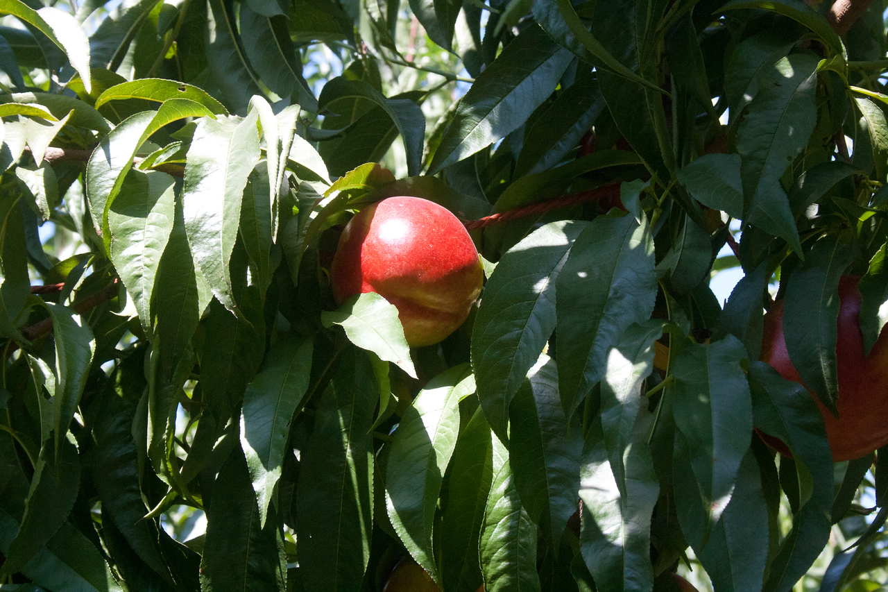 August Bright Nectarine