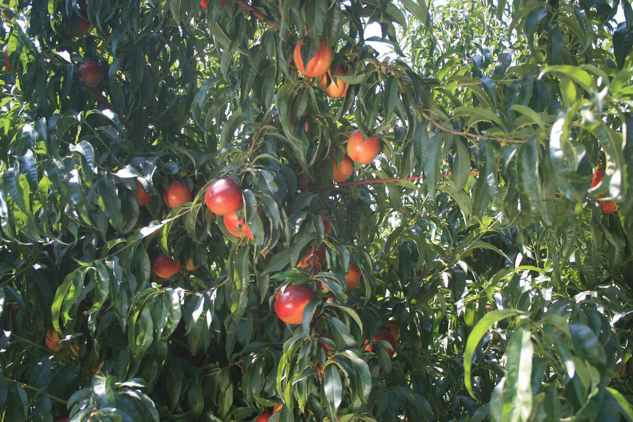 August Bright Nectarine